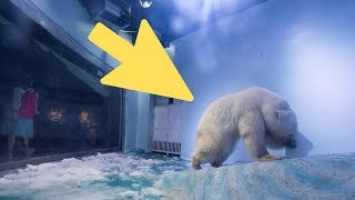 Download Saddest Polar Bear In The World' Gets A Stroke Of Good Luck That's Transforming His Life Video