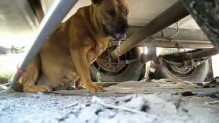 Download Rescuing a stray pregnant dog + Rehabilitation by Marilyn. (video by Eldad Hagar) Video