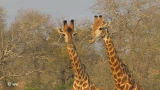 Download Giraffes Necking Video