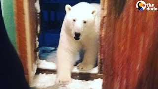 Download Polar Bears Have Invaded Russian Town | The Dodo Video