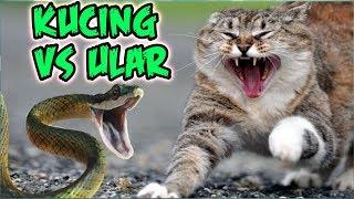 Download Kucing Paling Galak! Gak ada takutnya Lucu Banget! Kucing Berantem Video