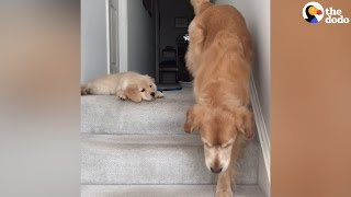 Download Puppy Doesn't Know How His Mom Got Down The Stairs | The Dodo Video