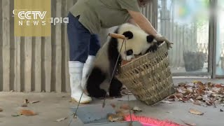 Download Watch: Giant pandas create trouble as staff cleans their house Video
