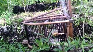 Download Mikat burung prenjak perawang Video