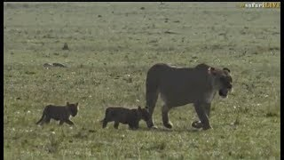Download Pt 2 Safari Live's Sunrise Safari Drive at 7:30 AM on Sept 18, 2017 ( Lioness,cubs & Hosana ) Video