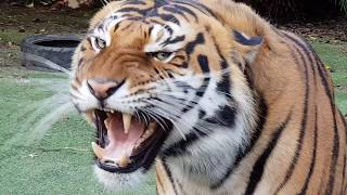Download Tigers make their choice between chicken and fish ! Video