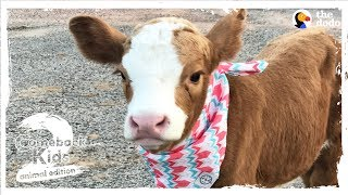 Download Family Brings Baby Cow Into Their Home During Hurricane | The Dodo: Comeback Kids S02E01 Video