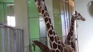 Download Muziki and Laikipia - Cheyenne Mountain Zoo, May 4, 2018 Video