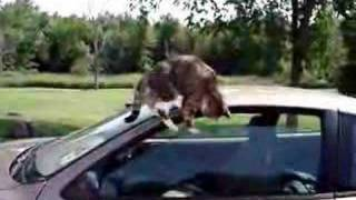 Download Cat vs. Car Video
