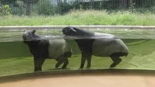 Download マレーバク舎 (多摩動物公園) 2018年9月9日 Video