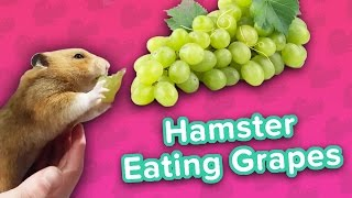 Download Hamster Loves Grapes & Cardio Dachsunds! // Funny Animal Compilation Video
