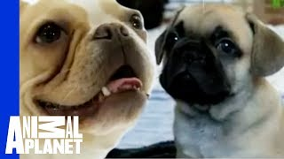 Download French Bulldog | Dogs 101 Video
