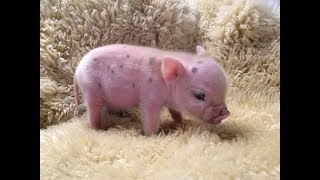 Download CUTE MICRO PIG   MINI PIG VIDEO Compilation Video