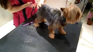 Download Peluqueria canina - Corte Yorkshire Video