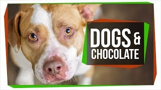 Download Why Can't Dogs Eat Chocolate? Video