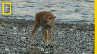 Download Baby Bison Takes on Wolf and Wins | America's National Parks Video