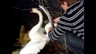 Download Short Version Watch People Rescue Entangled Swans Спасение Лебедей. Gulbju izglābšana. Video