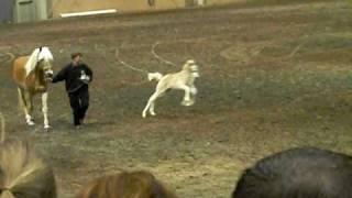 Download Haflinger Foal goes Nuts!! Video