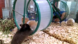 Download Happy Hamster Mayhem Video