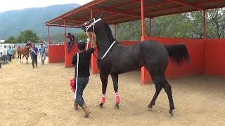 Download CARRERAS DE CABALLOS **Futurity** LA CAMELIA Video