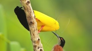 Download Twelve-wired Bird-of-Paradise Video