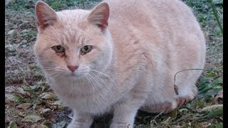 Download Taming a feral Tom cat 101.1 (Are we ″cat-whisperers″?) Video