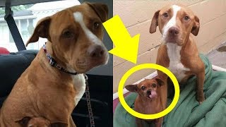 Download This Pit Bul Wouldn't Leave The Shelter Without The Chihuahua He Was Protecting So The Owner ... Video