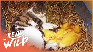 Download Cat Adopts Baby Ducklings | Animal Odd Couples | Real Wild Short Video