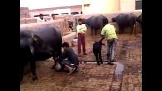 Download Buffalo Dairy Farm ,Lahore,Pakistan Video