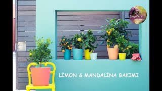 Download Evde Limon ve Mandalina Yetiştirmenin Püf Noktaları! How to care Citrus ? (ENGLISH CC) Video