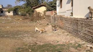 Download LANGOOR VS DOGS # DOGS CHASED LANGOOR # 1 MONKEY VS 4 DOGS # MONKEY FIGHTS DOGS by Shooter Video