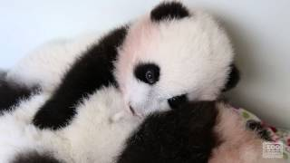 Download Panda Cubs - ″When Your Brother Doesn't Let You Nap″ Video