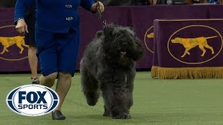 Download Group judging for the Herding Group at the 2019 Westminster Kennel Club Dog Show | FOX SPORTS Video