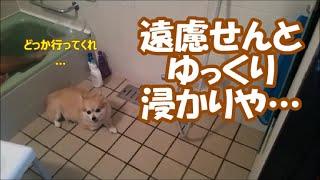 Download すぐキレるポメラニアン75 究極のツンツンツンデレ犬!? Video