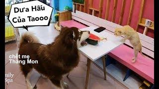 Download Để đồ ăn thử lòng Mật và phản ứng chết cười khi có trộm - Mật Pet Family Video