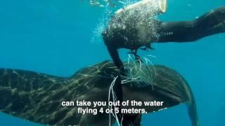 Download Giant manta rescue in Costa Rica / Rescate de manta gigante en Costa Rica Video
