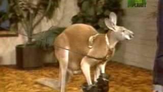 Download Kangaroo Goes Berzerk Video