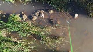 Download Otter hunting Crayfish 10 2 17 1 Video