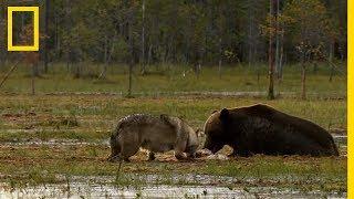 Download Une meute de loups contre une famille d'ours Video