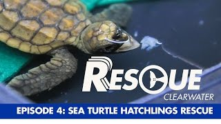 Download Sea Turtle Hatchling Rescue - Rescue-Clearwater Season 1: Ep. 4 Video