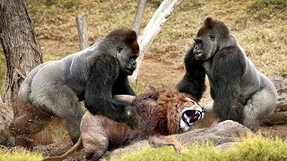 Download LIVE: Discovery Wild Animals - Most Amazing Moments Of Wild Animal Fights - Animal Documentary 201̣9 Video