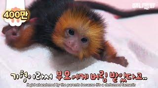 Download 가족에게 버림받은 타마린원숭이 키우는 사육사 아재? Video