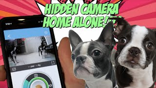 Download Boston Terriers HOME ALONE with Hidden Camera Treat Dispenser! Video