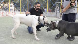 Download DOGO ARGENTİNO VS AMERİCAN BULLY Video