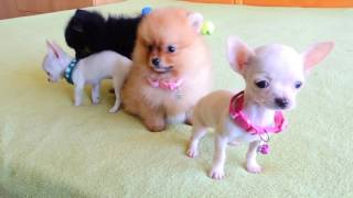 Download Pomeranian and Chihuahua Puppies for Sale Video