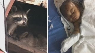 Download Raccoon attacks toddler in apartment causing serious injures Video