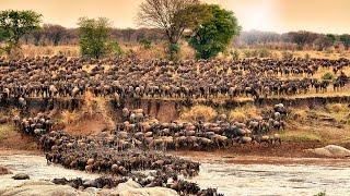 Download herd of wildebeest crossing Mara River on annual migration Video