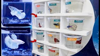 Download BETTA Fish SHOPPING SPREE! **BREEDING Betta Fish?** Video