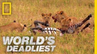 Download Lions vs. Zebra | World's Deadliest Video