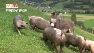 Download Happy Pigs - glückliche Schweine in intakter Natur - by Well TV International Video